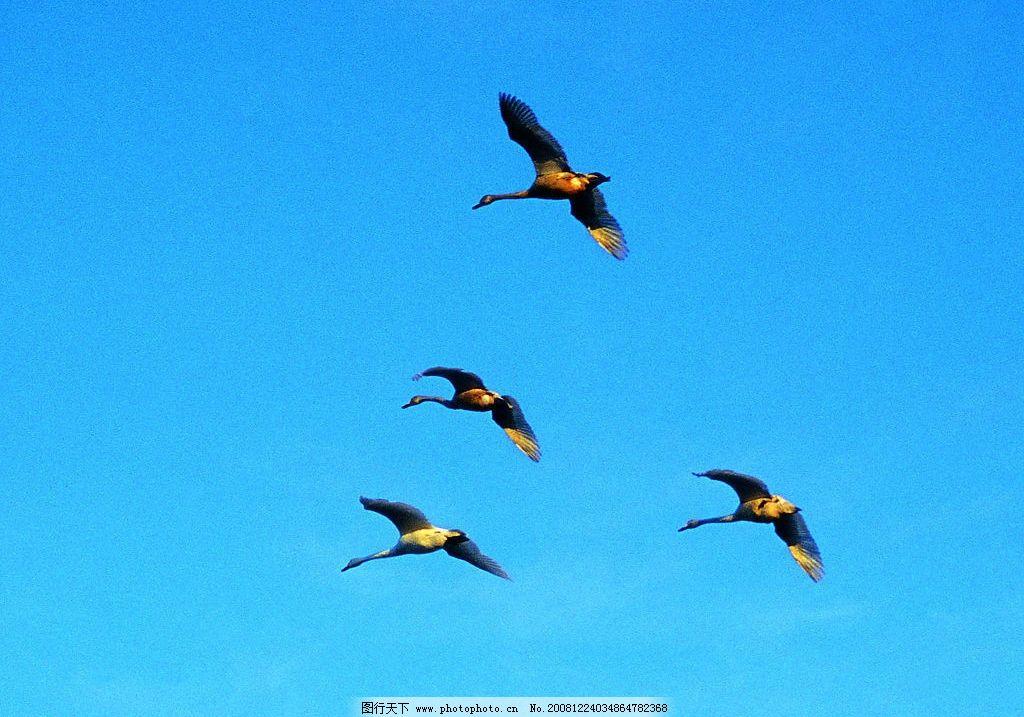 迁徙的鹤 仙鹤 翅膀 飞舞 新疆 摄影 摄影图库