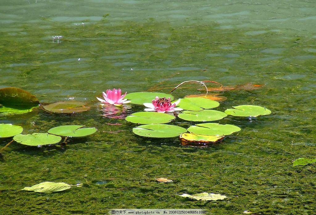 荷花 莲 水 睡莲 长沙 自然景观 自然风景 摄影图库 72dpi jpg