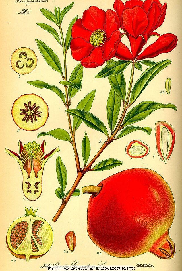 手绘植物图石榴图片