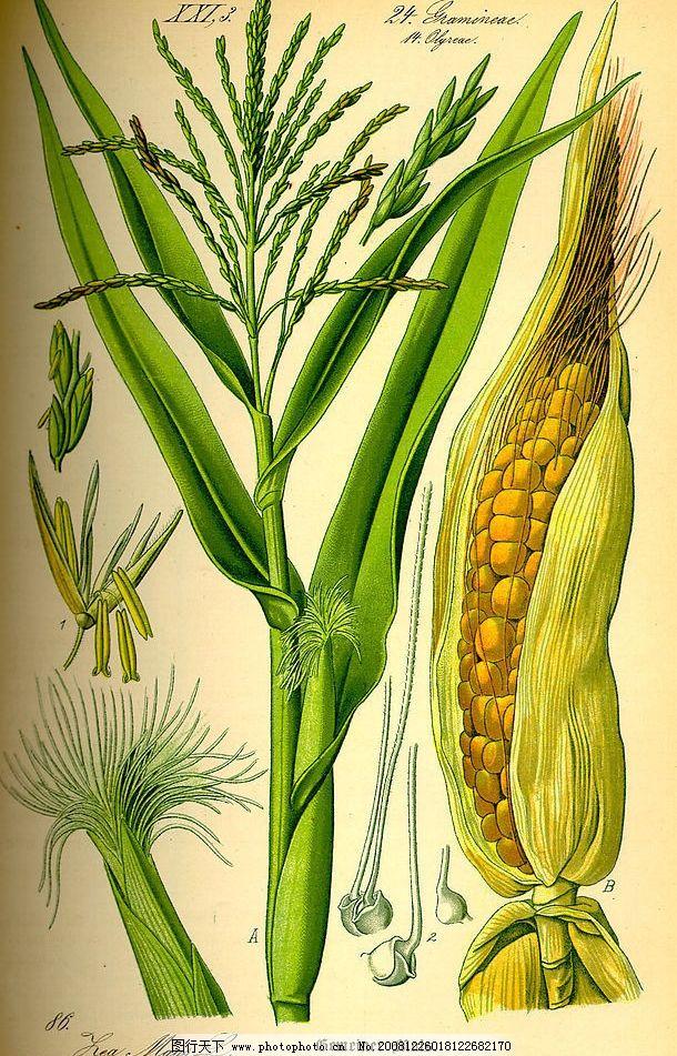 手绘植物图玉米图片