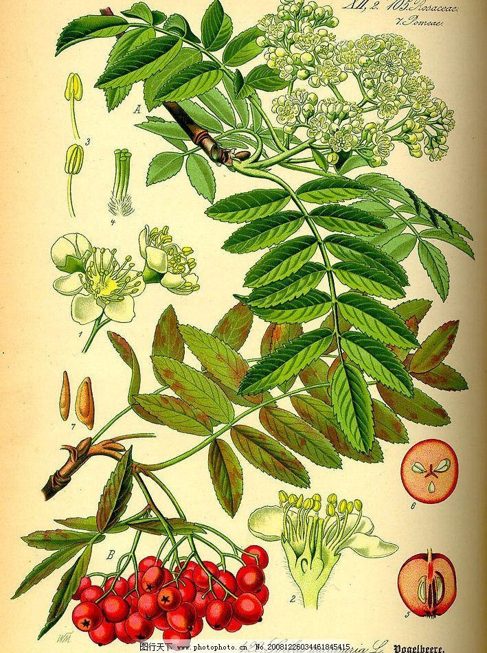手绘植物图山楂图片