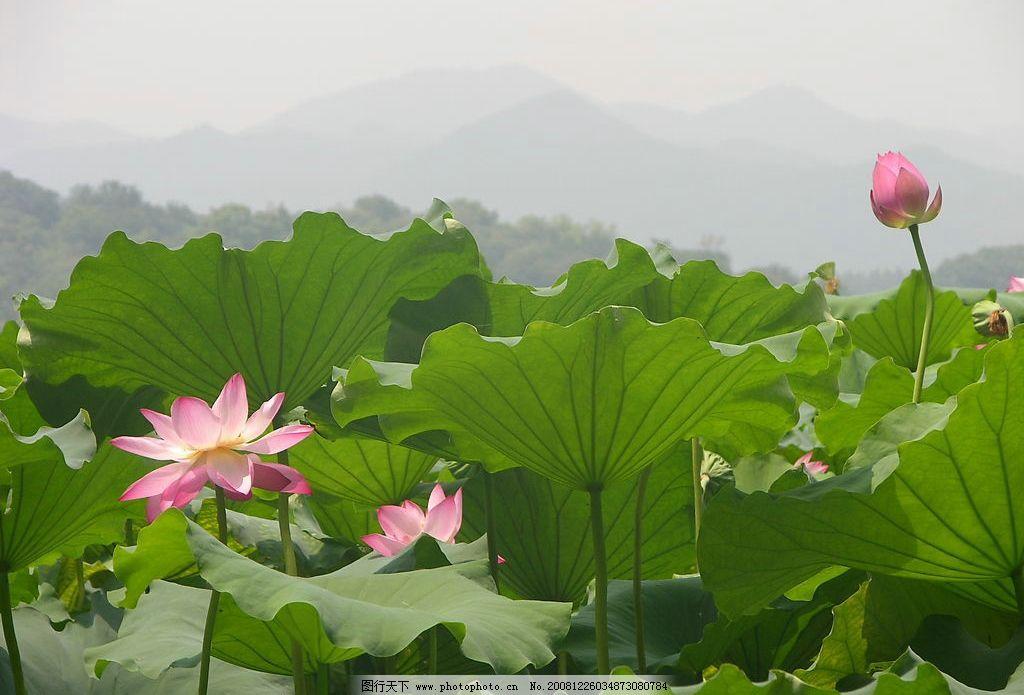 荷花3 荷花 景色 自然景观 自然风景 摄影图库 300dpi jpg