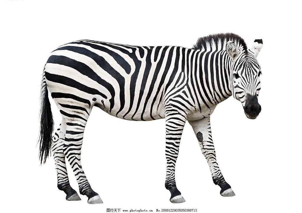 斑马 动物 马 站着的斑马 生物世界 野生动物 摄影图库 300dpi jpg
