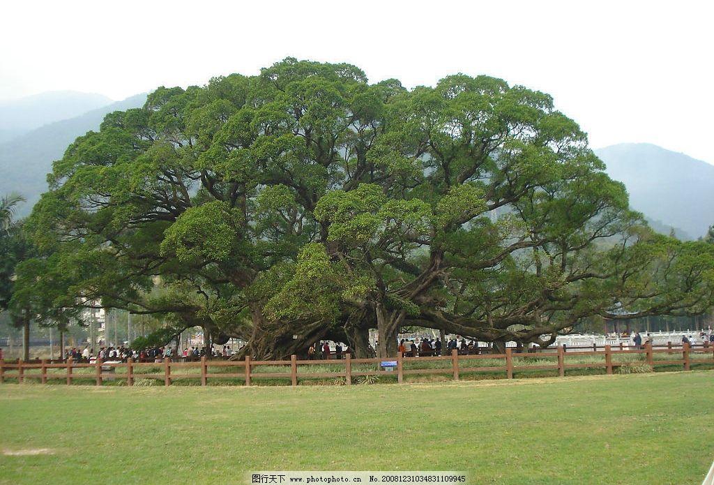 大榕树 绿草地 自然景观